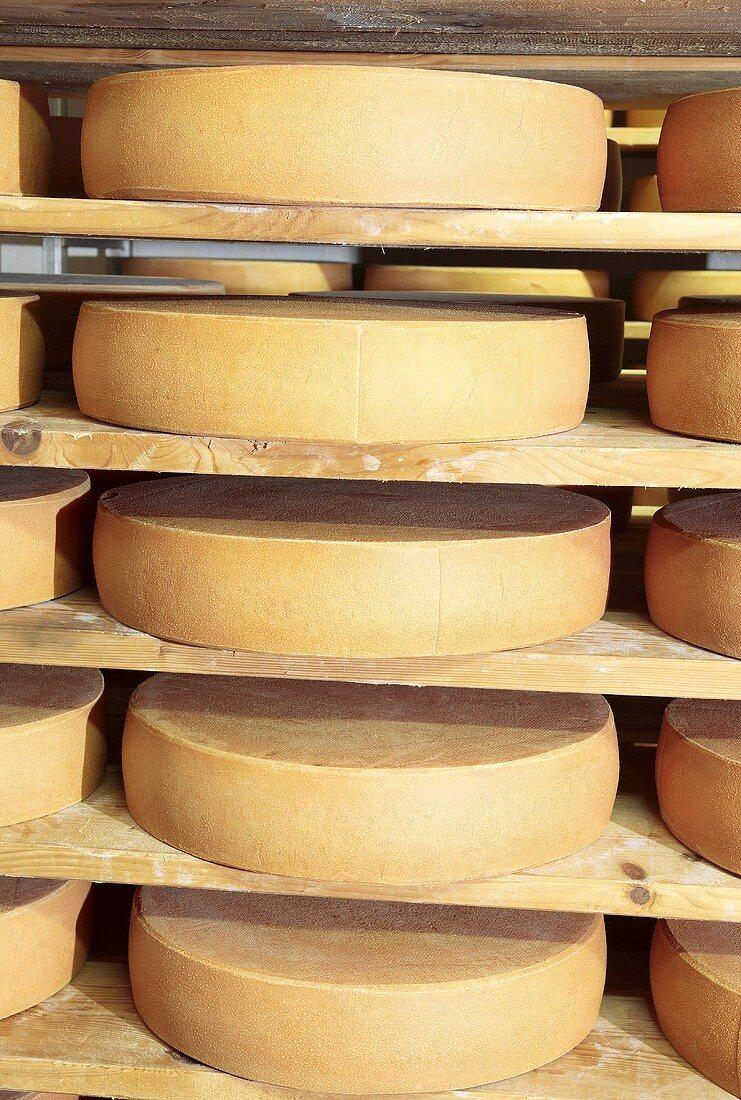 Bergkäse cheese (Alpine cheese) ripening on shelves