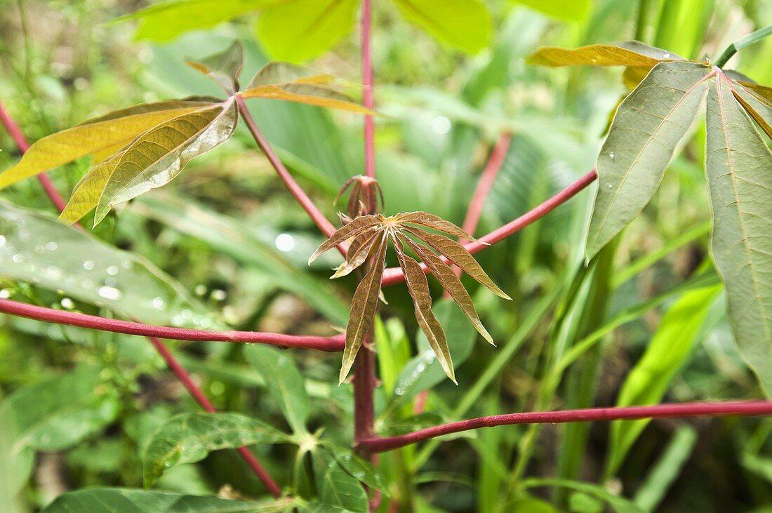 Leaves of the cassava (manioc) plant (Amazonas, Ecuador)