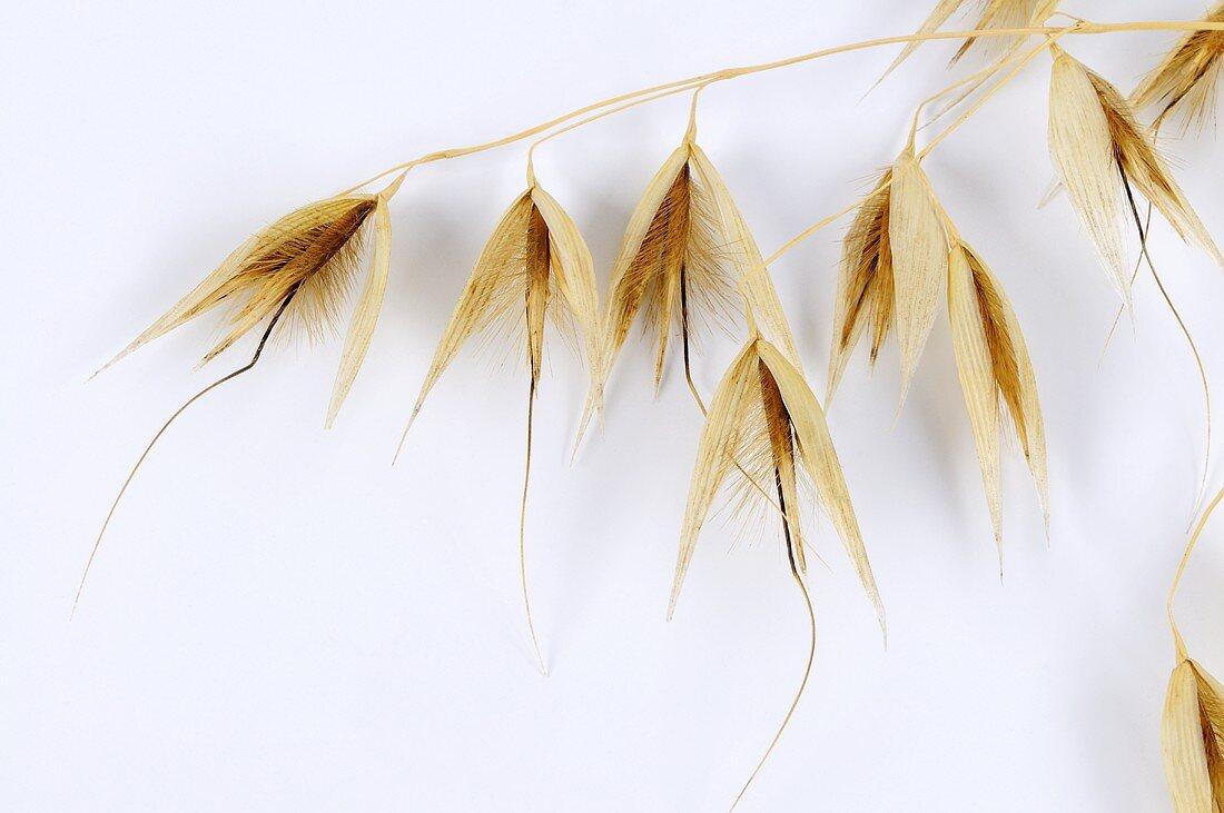 Slender wild oat (Avena barbata)