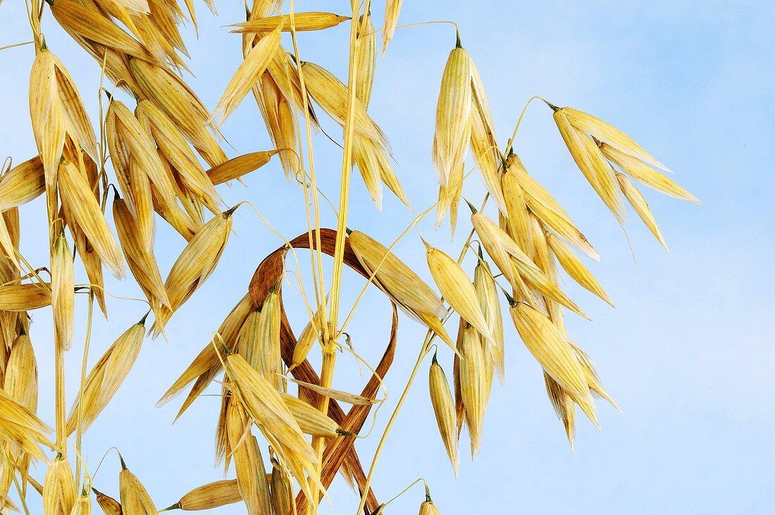Naked oat panicles (Avena nuda)