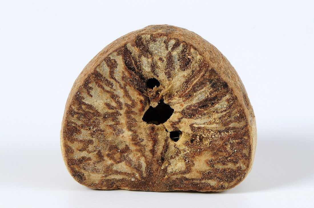 Half of a betel nut