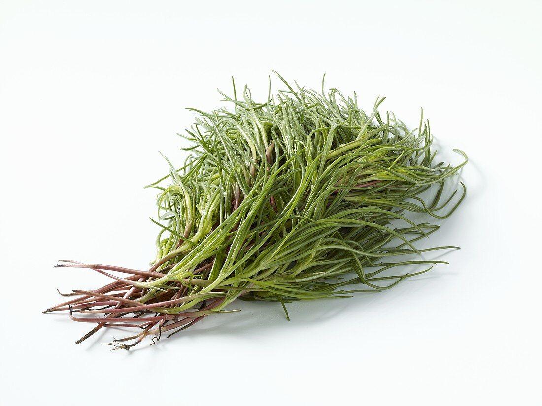 Barba di frate (Salsola soda, Saltwort)