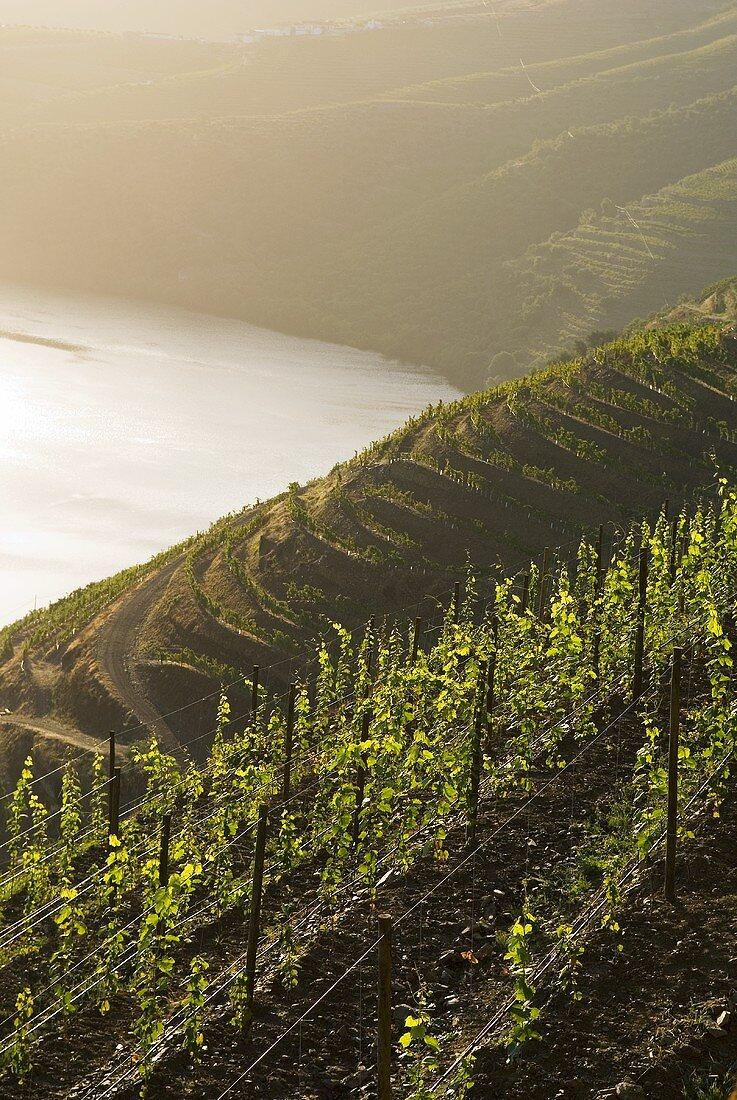 Vineyard, Pinhao, Douro, Portugal
