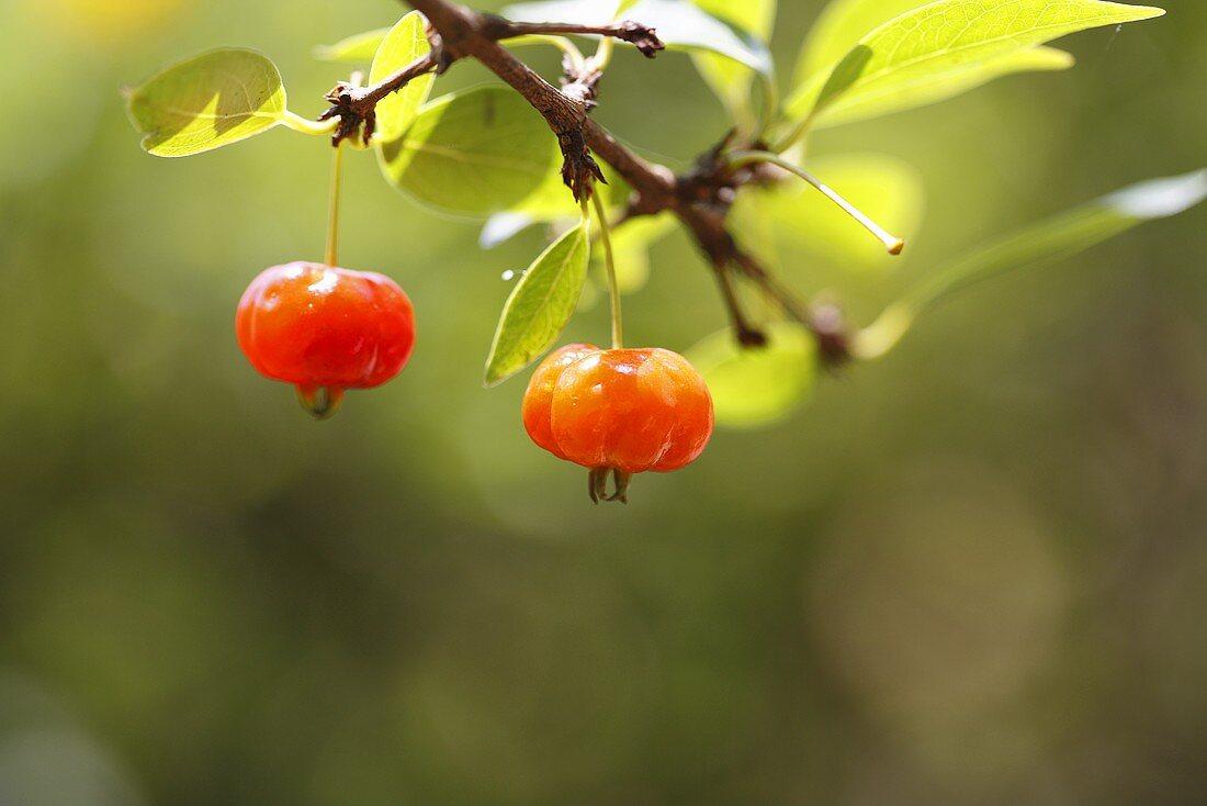 Surinam cherry (Eugenia uniflora), also known as Pitanga