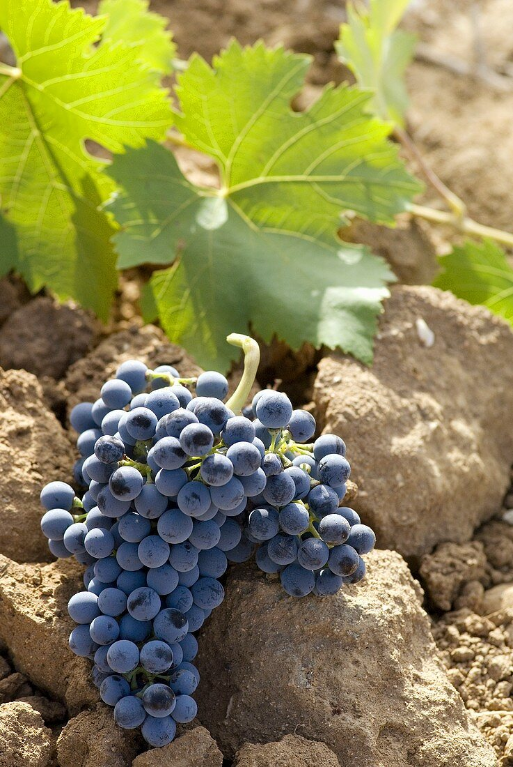 Tinta Cao grapes on soil