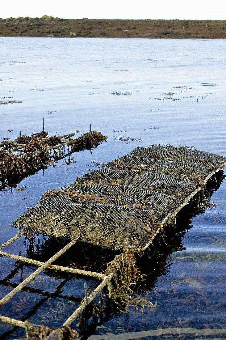 Oyster farming in Galway, Ireland