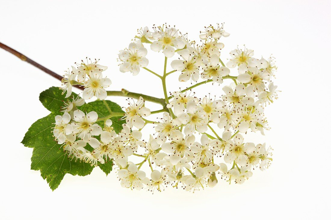 Wild service tree flowers (sorbus torminalis)