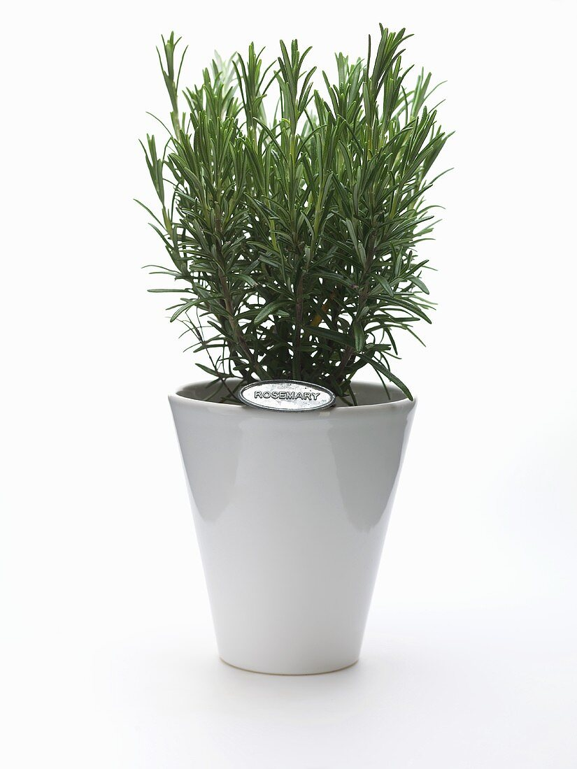 Rosemary plant in a flowerpot