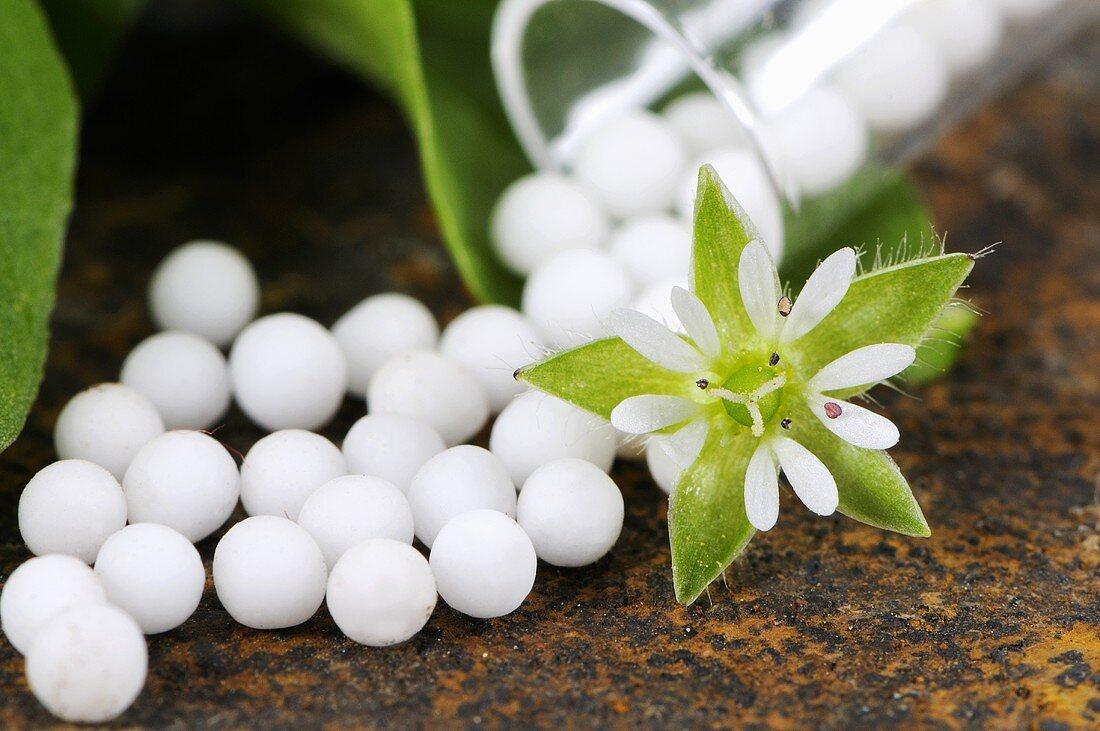 Chickweed globuli (small pellets)