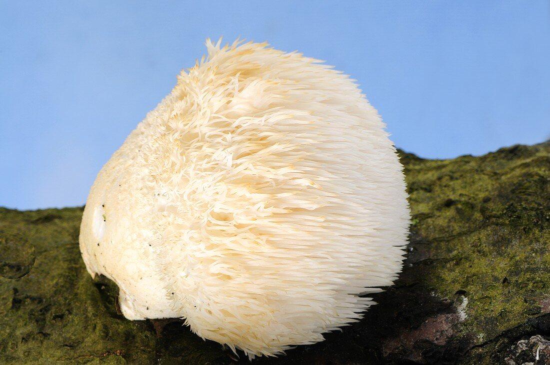 Affenkopfpilz (Hericium erinaceus) am Baumstamm
