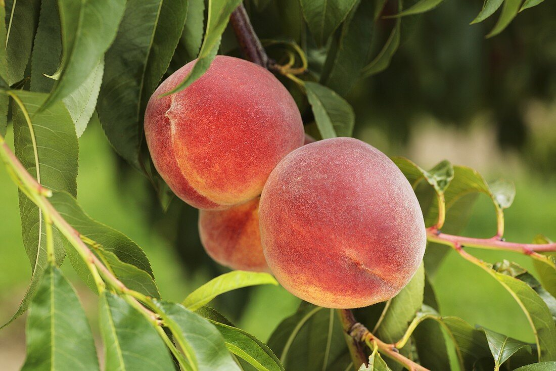 Yellow Florentine peaches on the tree