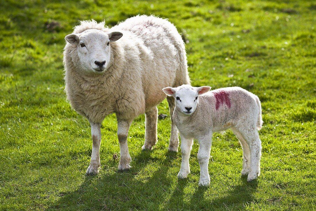 Sheep and lamb in pasture