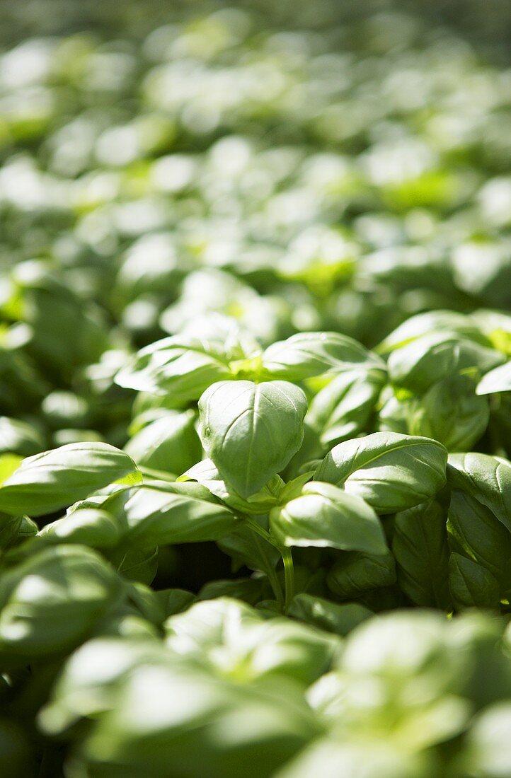 Basil in a greenhouse