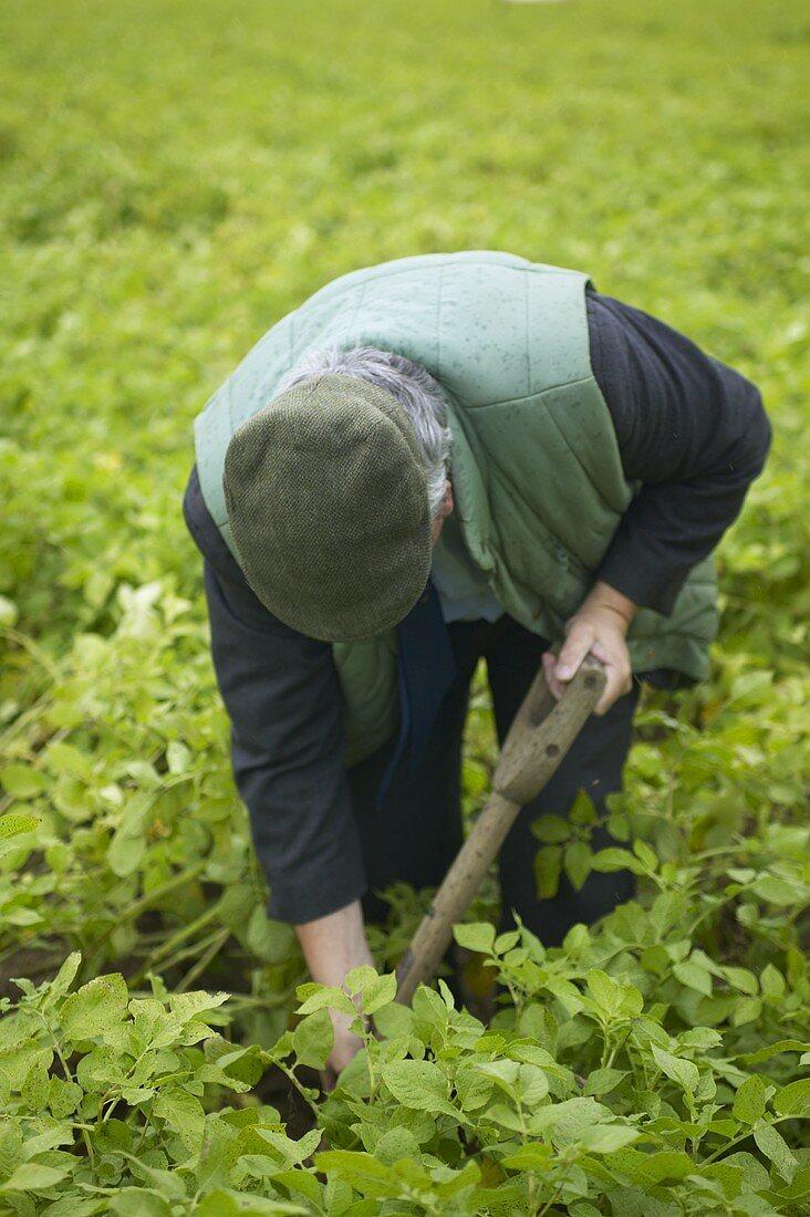 Man working in a potato field