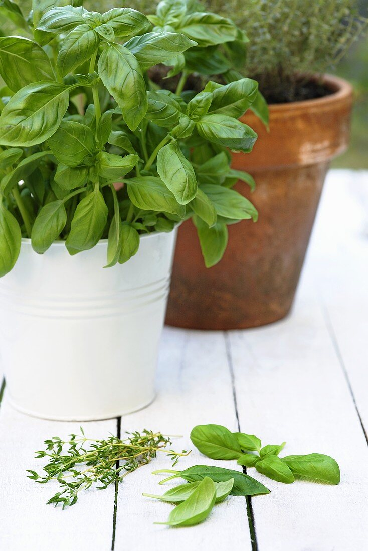 Basil and thyme in pots