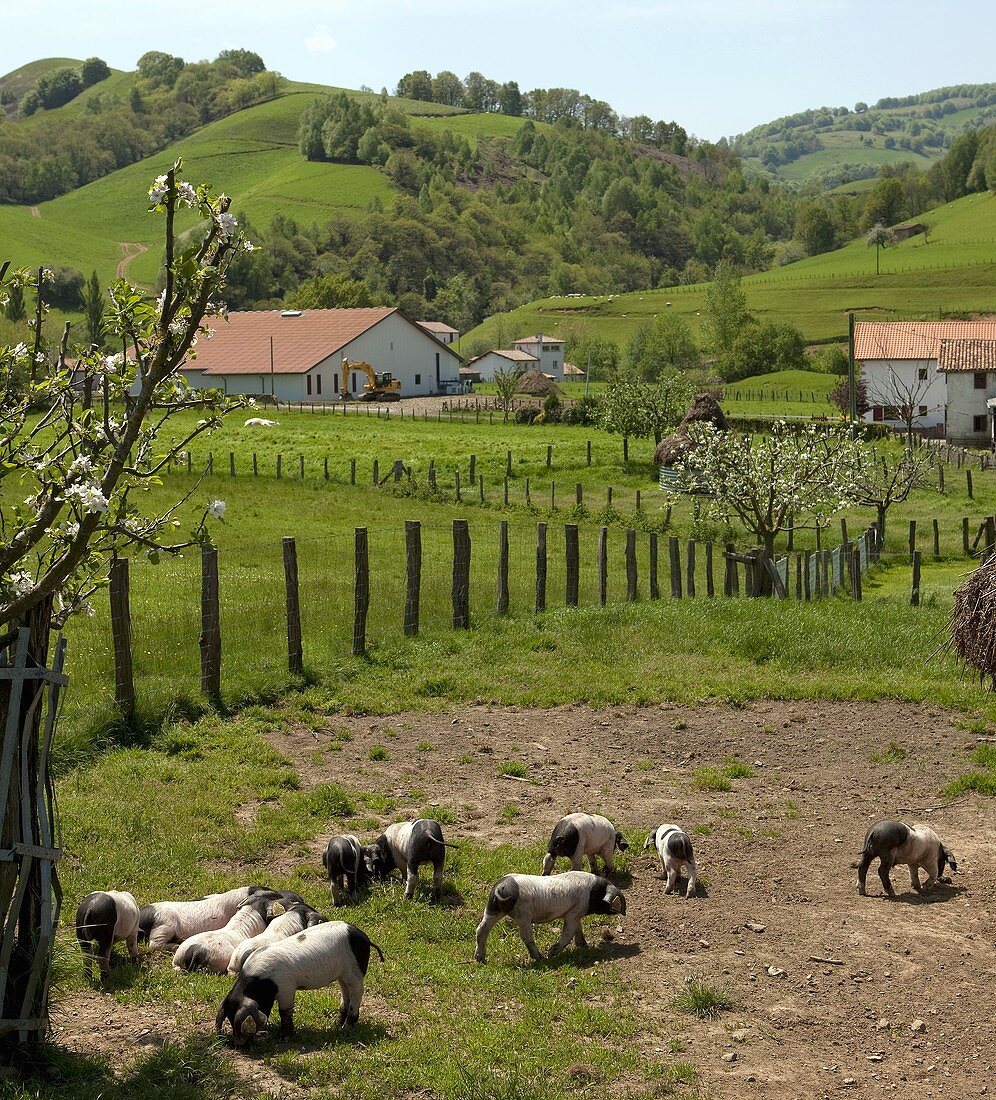 Pigs on a farm in Les Aldules, Basque Country