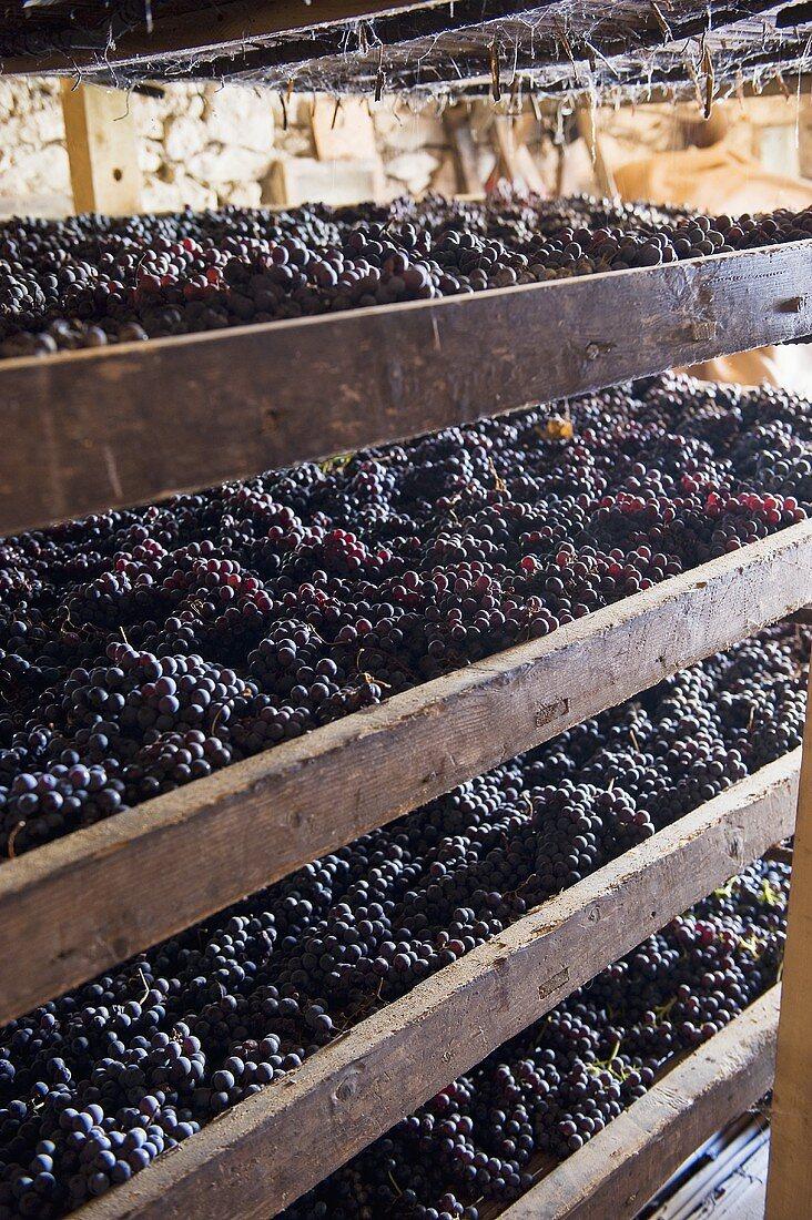 Red grapes drying (Monte dei Ragni wine cellar, Zeno Zignoli)