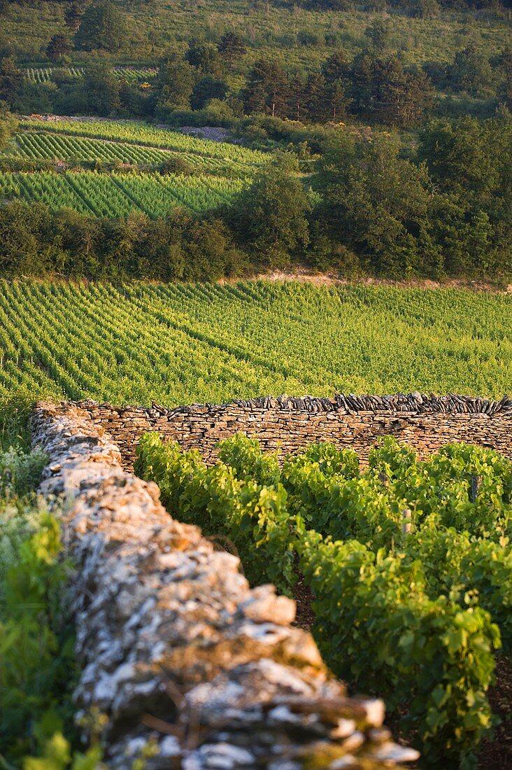 A vineyard in the morning light, Chassagne-Montrachet, Burgundy, France