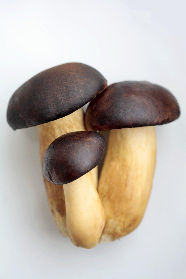 Bay Bolete (Xerocomus badius), also brown caps