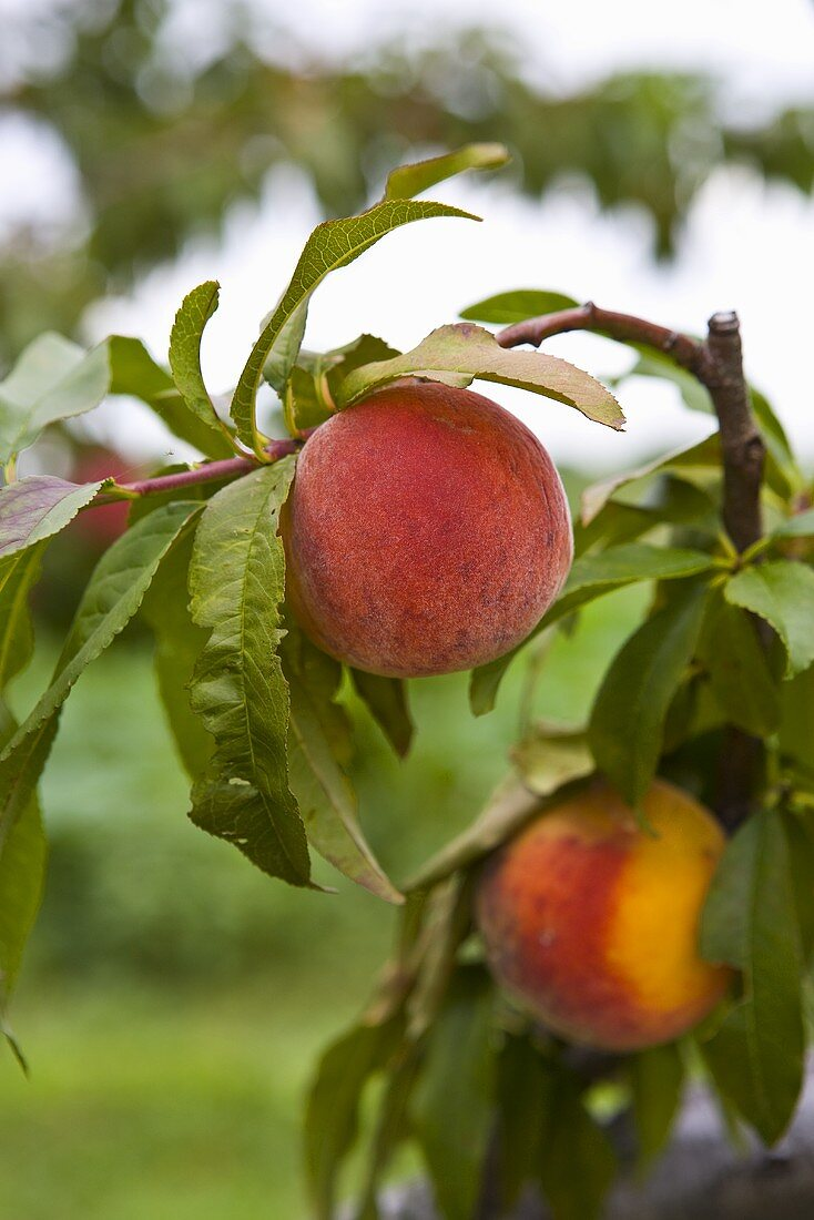 Two peaches hanging on a branch
