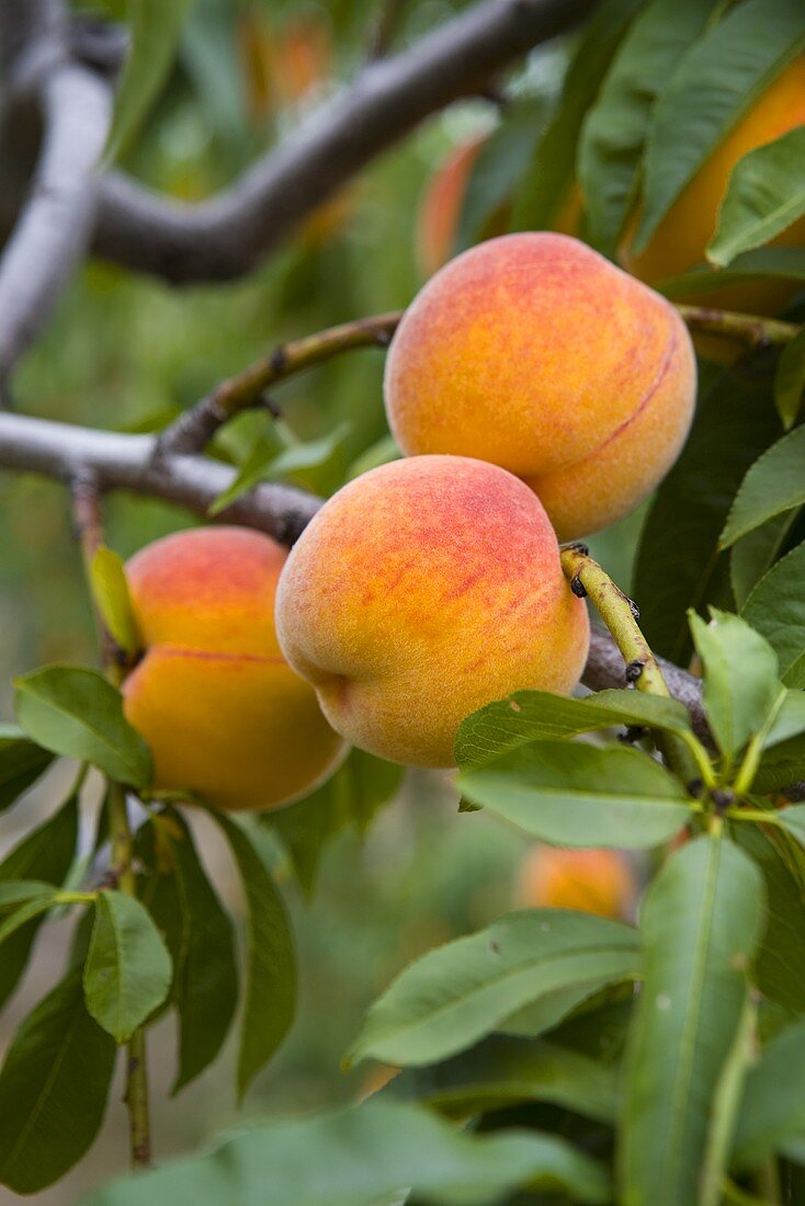 Fresh peaches on a branch