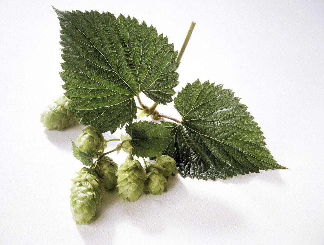 Hop Berries and Leaves