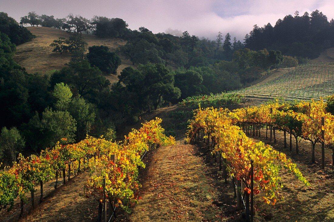 Vineyard, Hanna Vineyards, Alexander Valley, Sonoma County, California, USA