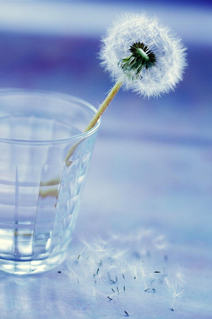 Dandelion head in glass