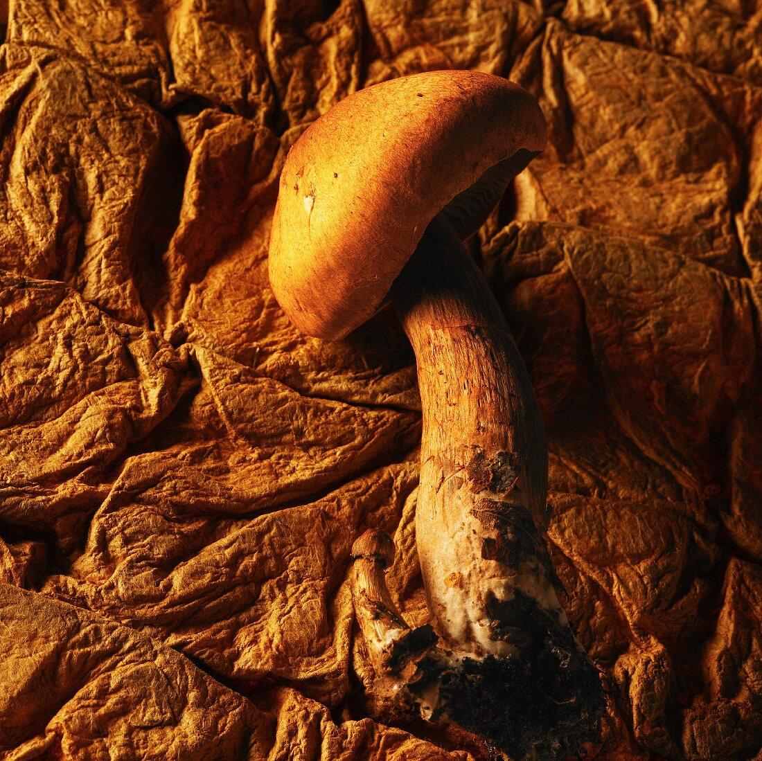 Amanite des cesars mushroom
