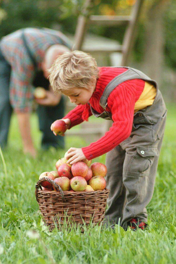 Älterer Mann und Kind sammeln Äpfel im Garten auf