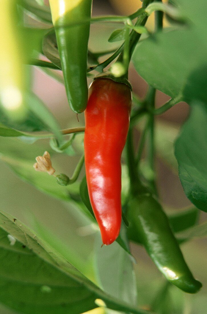 Red Chili Pepper Growing on Plant with Green Peppers in Background