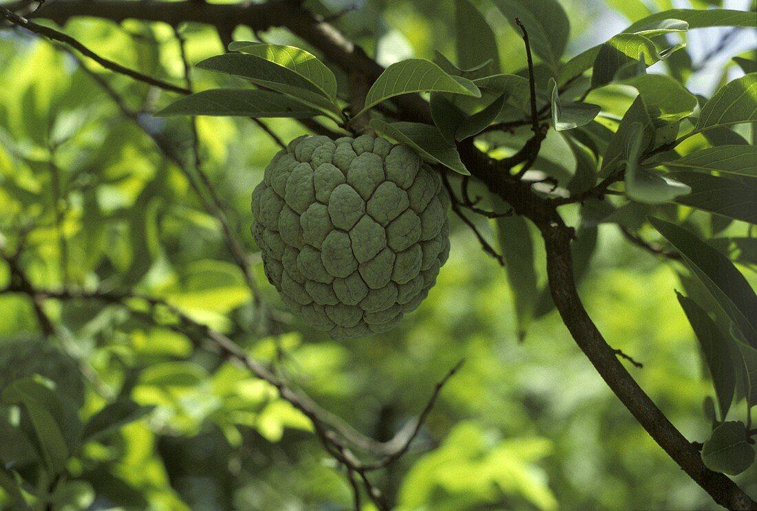 Sweetsop at Tree