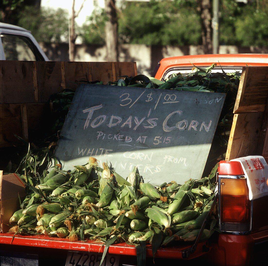 Frisch gepflückter Mais auf Ladefläche eines Autos (USA)