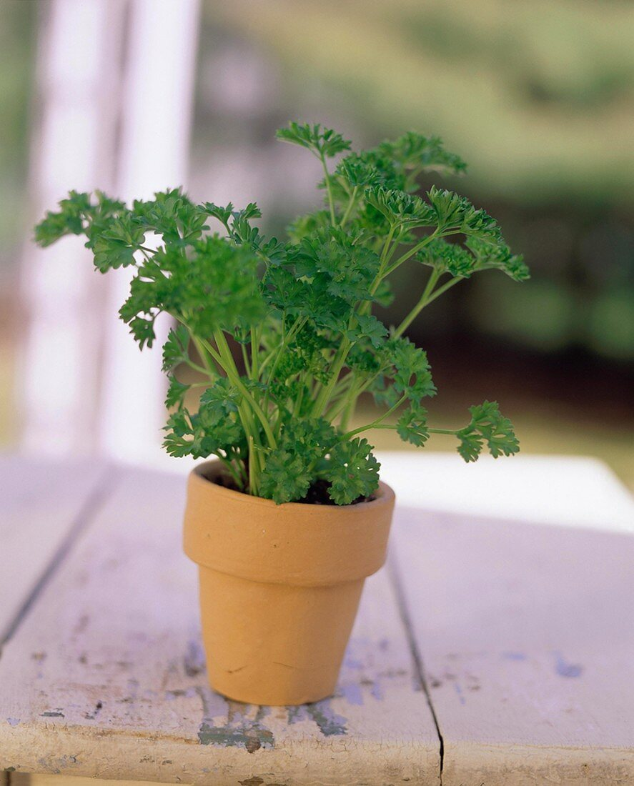Parsley Growing in a Clay Pot