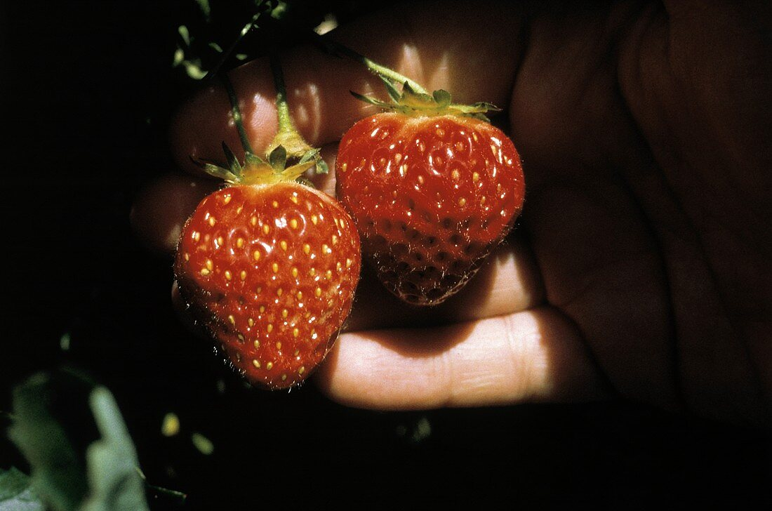 A Hand Holding Two Strawberries on Vine