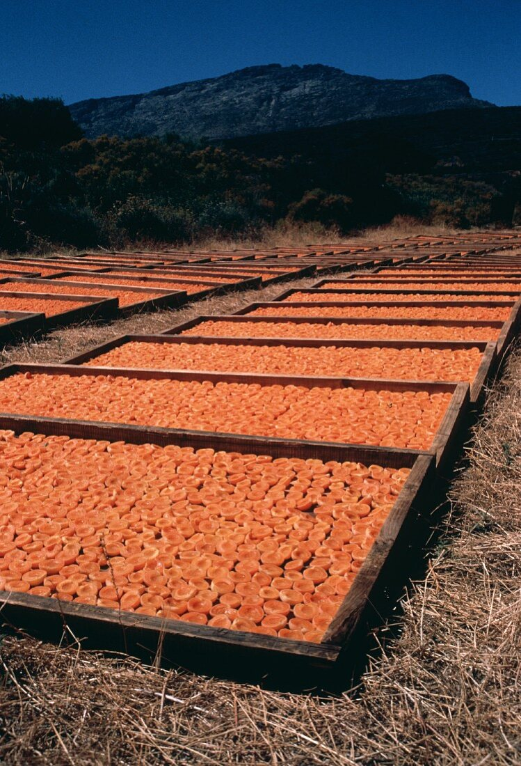 Drying Apricots in South Africa
