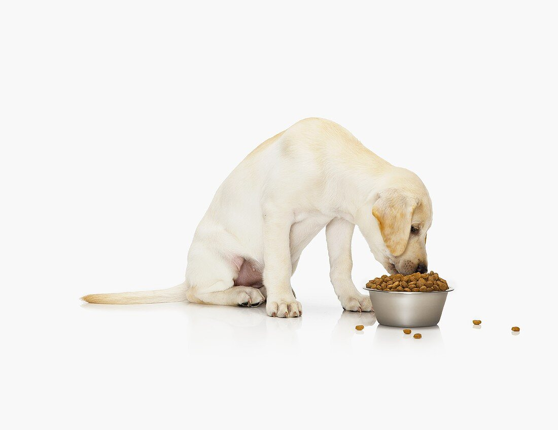 Dog (sitting) eating dry dog food out of dish