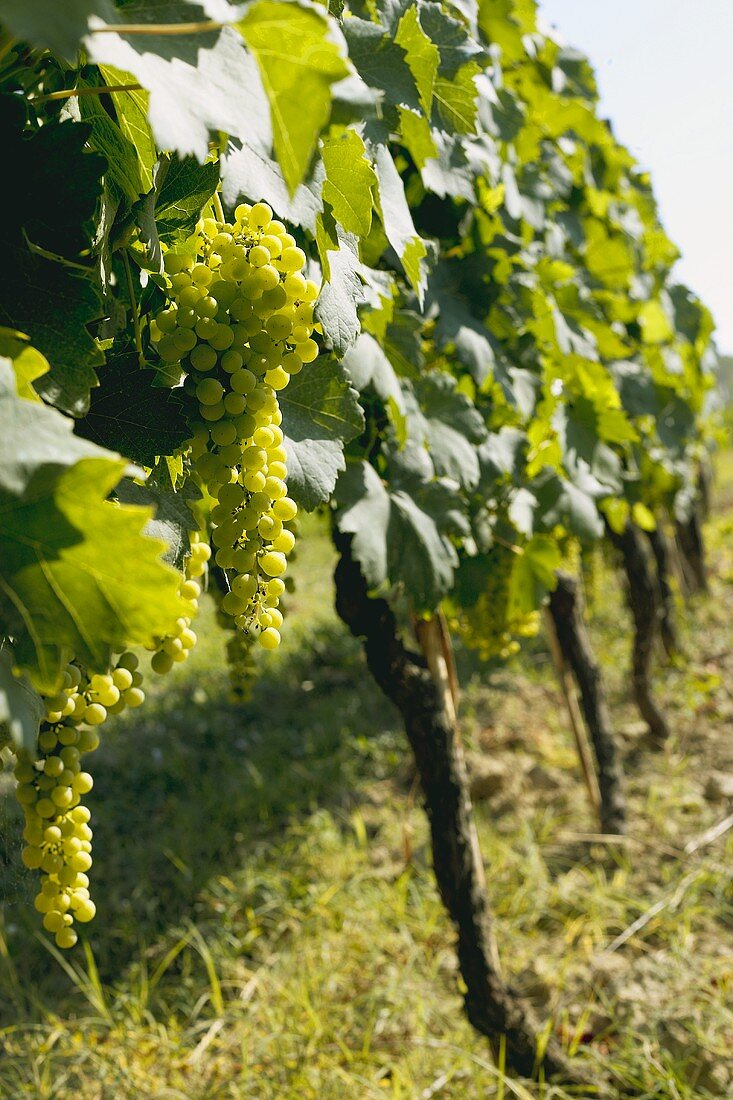 Bunches of Green Grapes Growing on the Vine