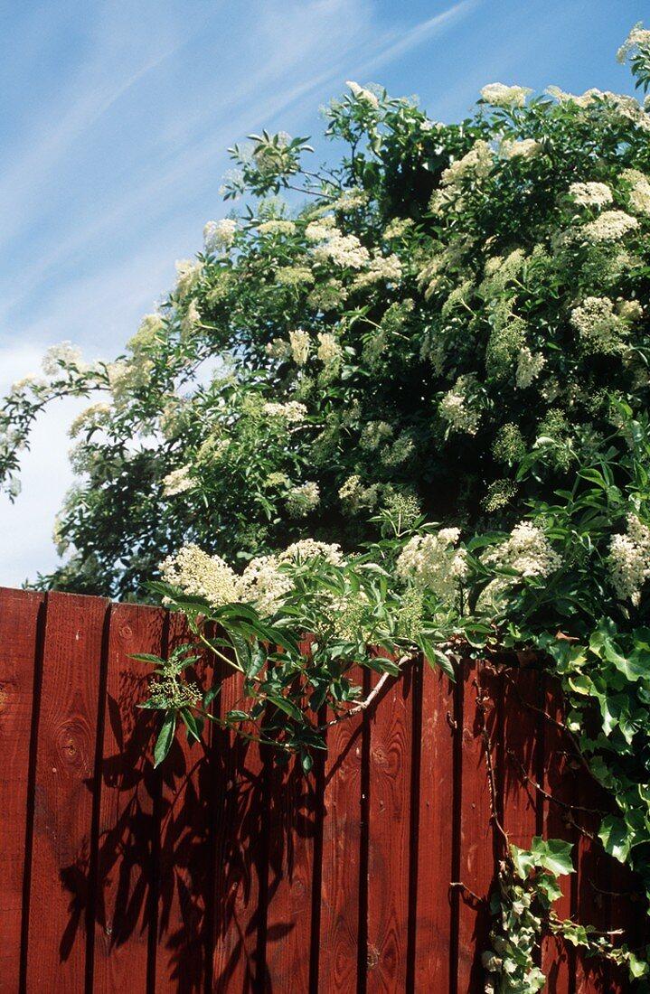 Elderflowers Growing Over a Fence