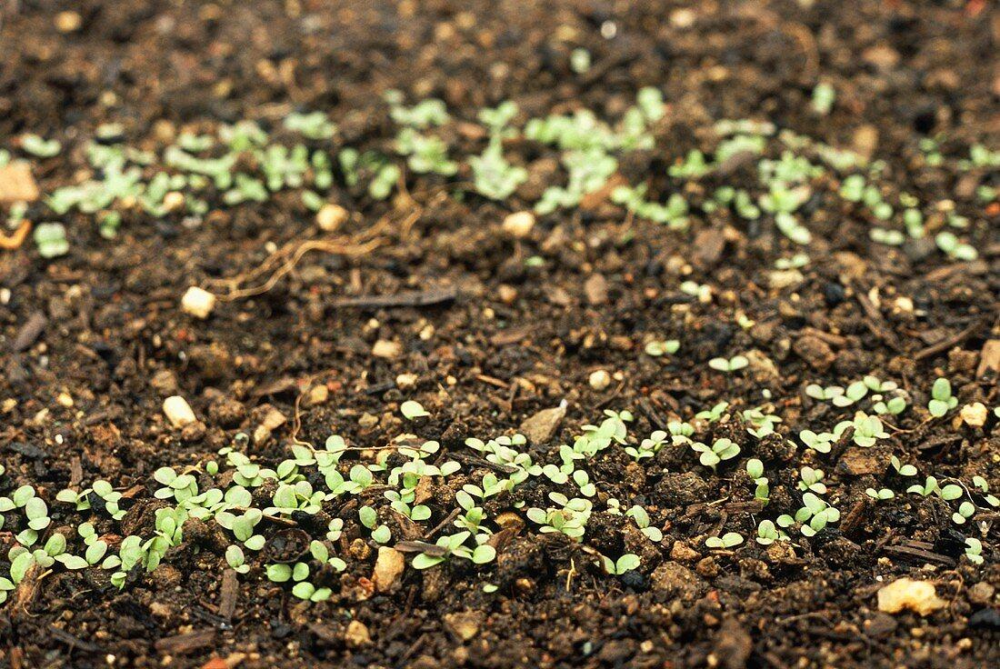 Lettuce seeds germinating in the garden