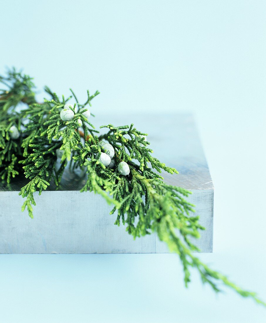 A Sprig of Juniper (Close Up)