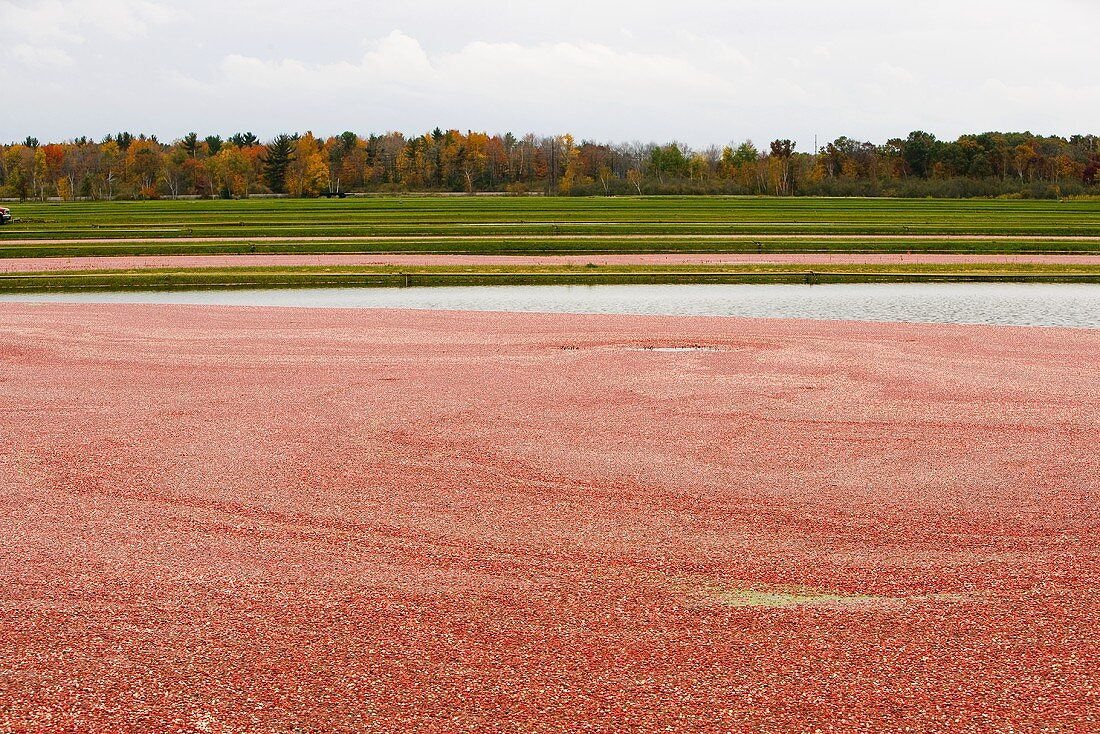 Cranberry Bog in Wisconsin