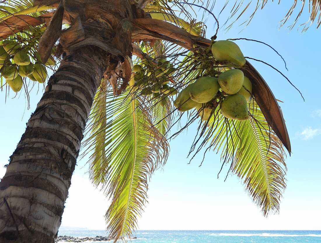 Coconuts in Palm Tree in Hawaii