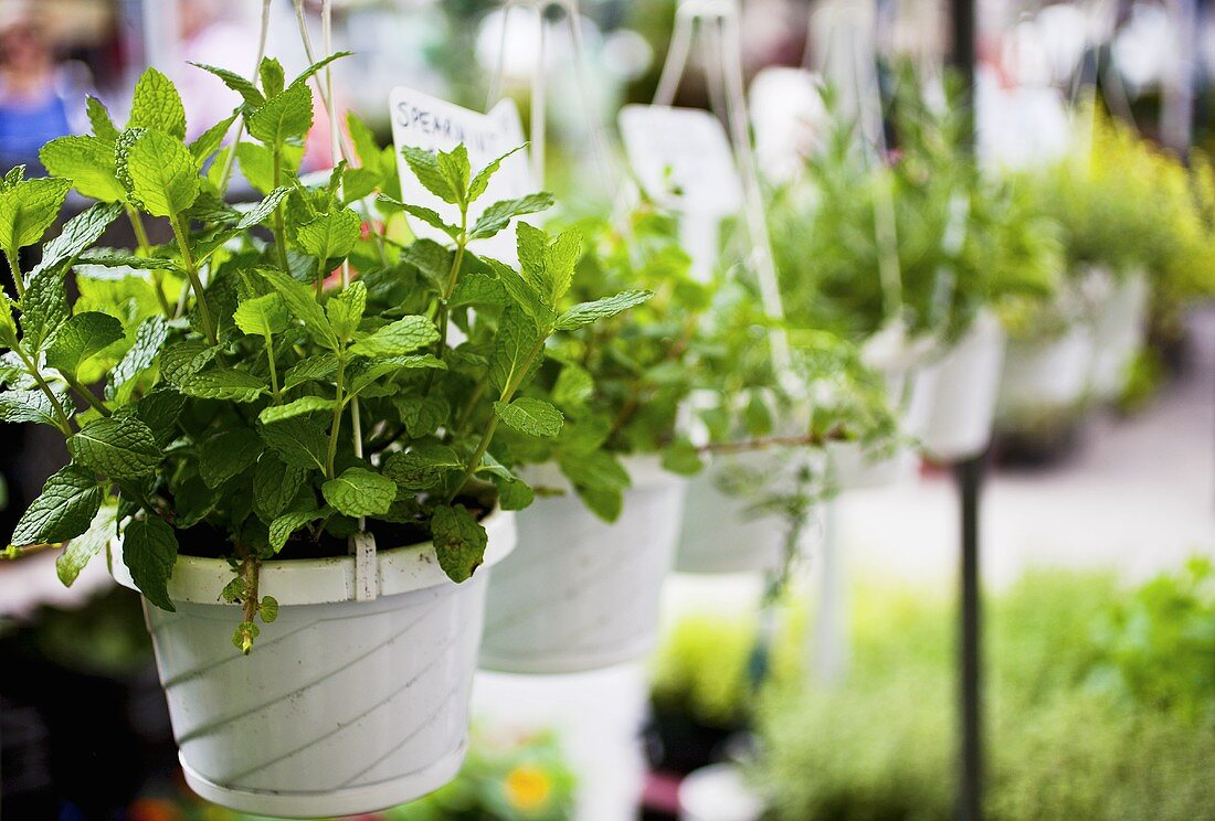 Hanging Mint Plants at Farmer's Market
