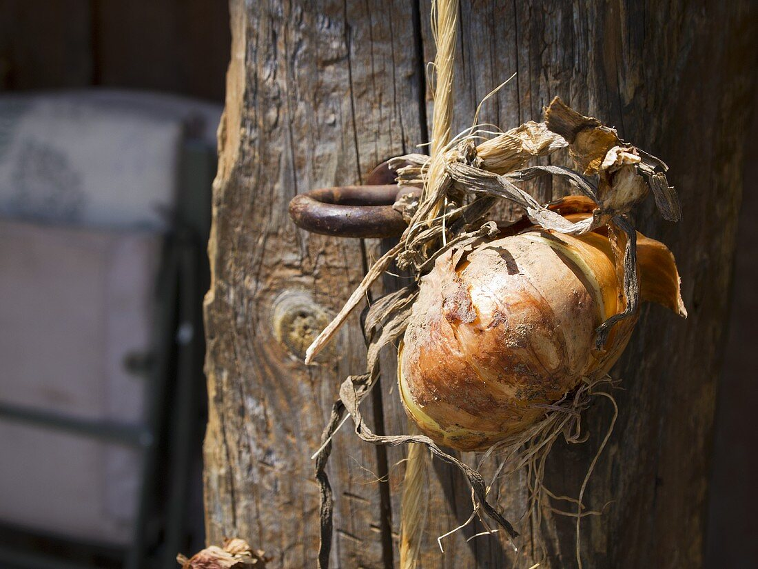 An Onion Hanging on Barn Door in Lancaster County, PA