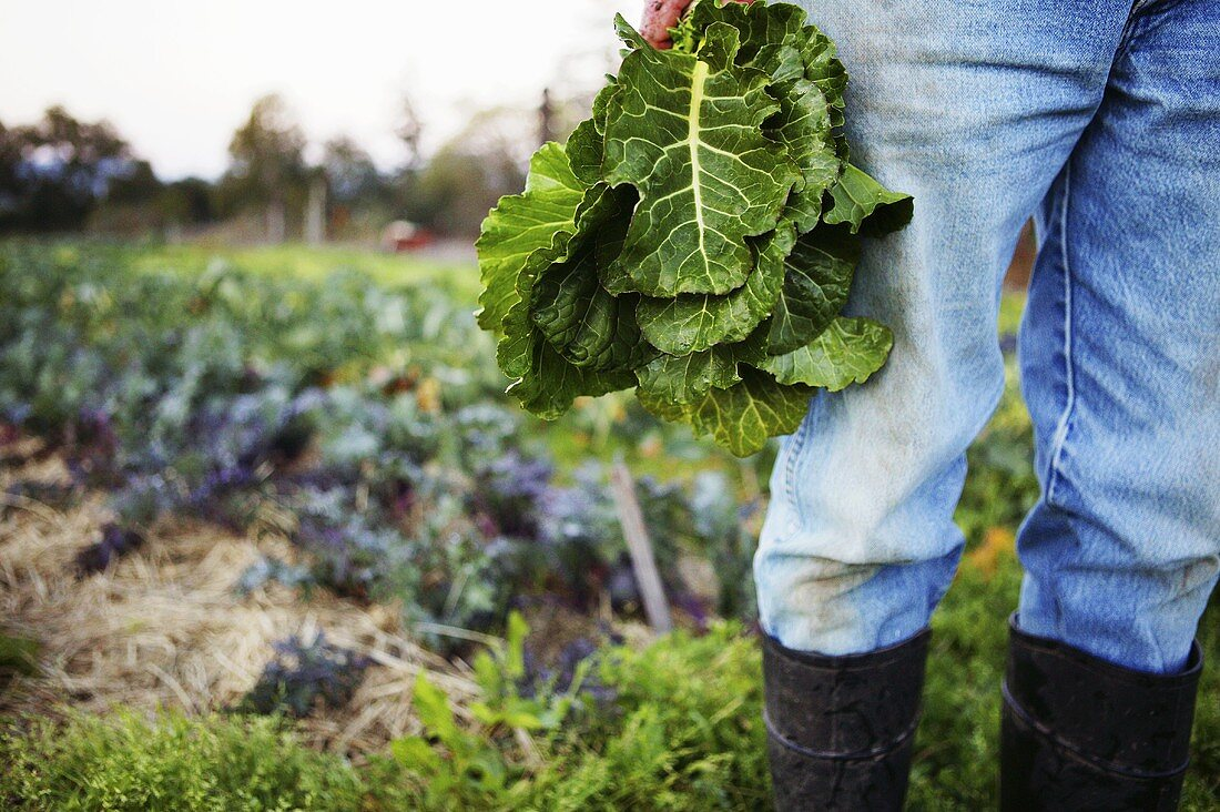 A farmer harvesting cabbage in a field