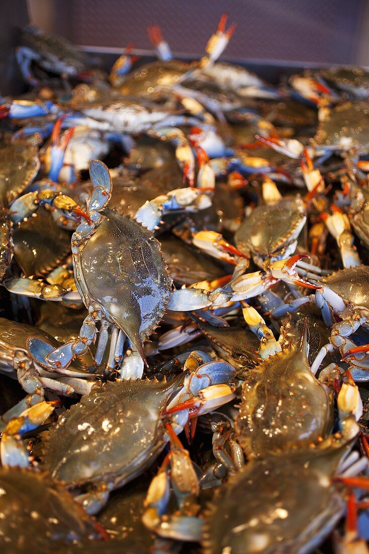 Many Fresh Blue Crabs