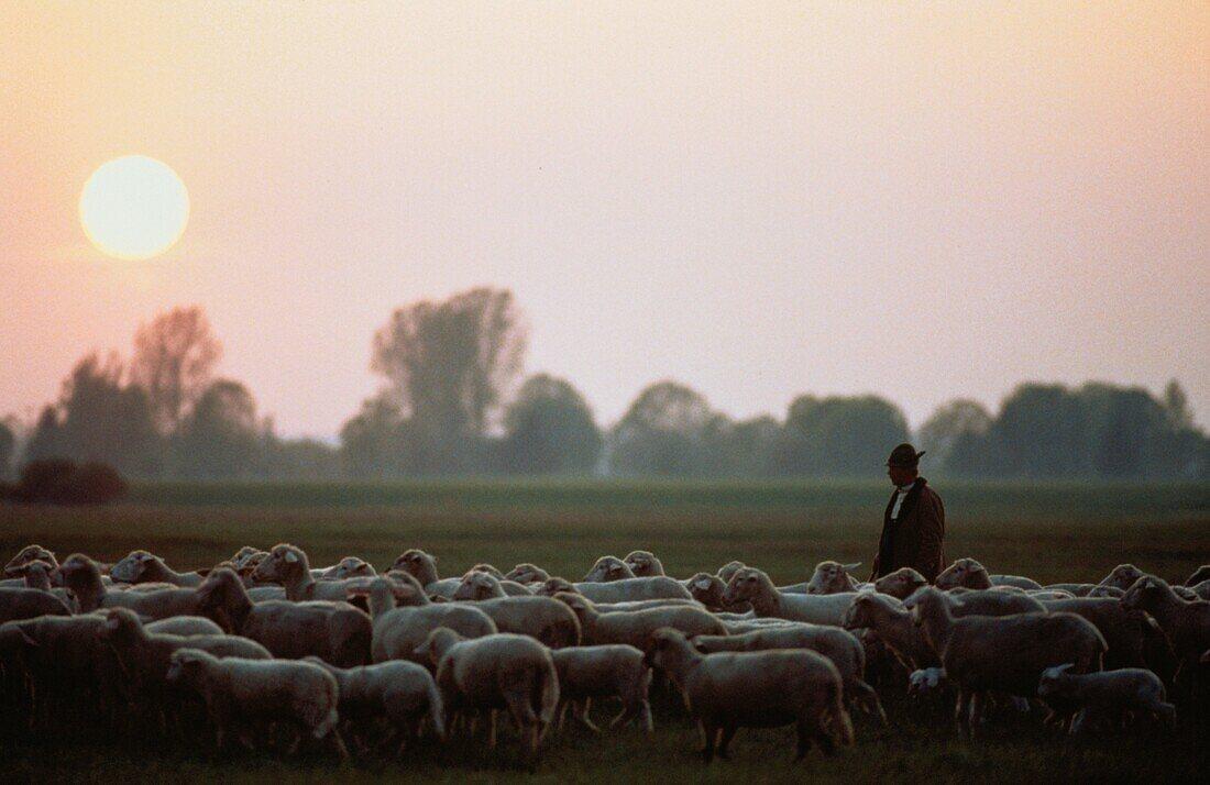 Shepherd with herd