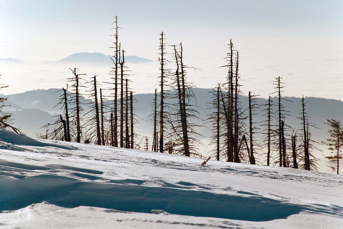 Dead Fir Trees at Hornisgrinde Mountain in Winter, Black Forest, Germany