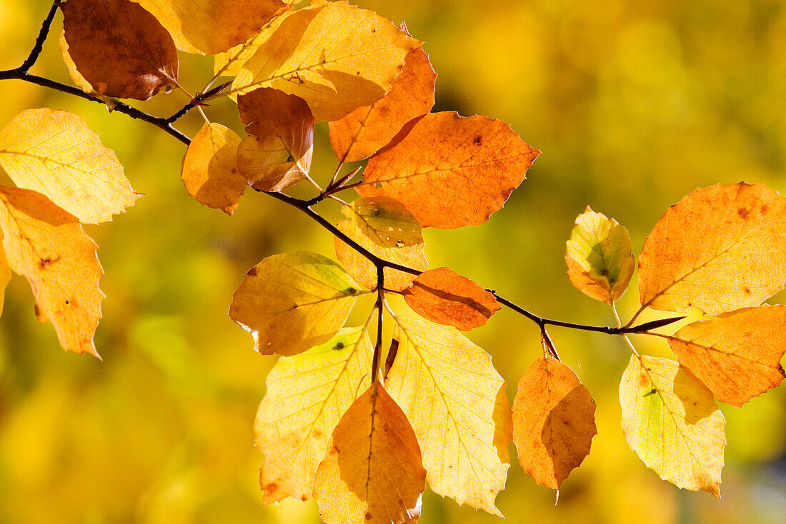 Ageing, Aging, Autumn, Autumnal, Background, Backgrounds, Backlight, Backlit, Beautiful, Beauty, Branch, Branches, Color, Colour, Daytime, Decorative, Delicate, Detail, Details, Environment, Exterior, Fall, Hold on, Holding on, Horizontal, Leaf, Leaves,